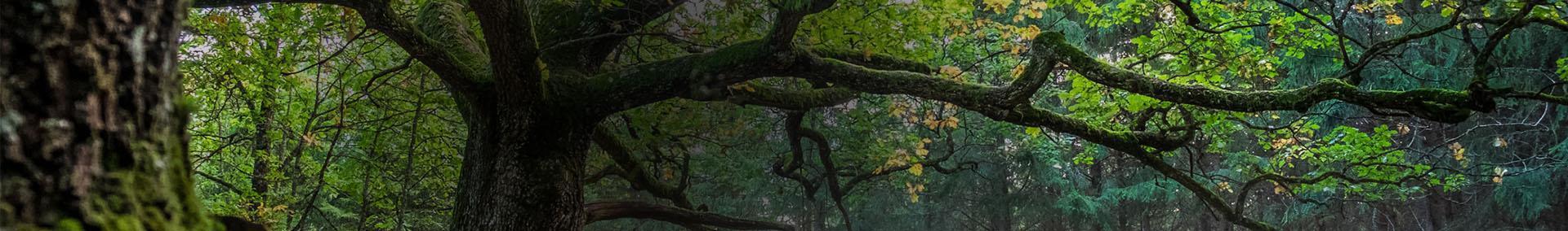 Rozłożyste drzewo